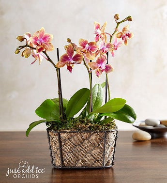 Sunset Blooms Orchid™