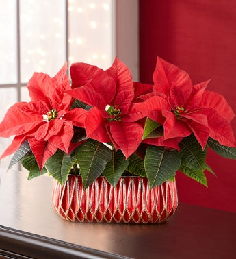 Mini Poinsettia Trio
